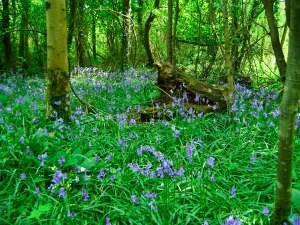 Photo of bluebells in spring